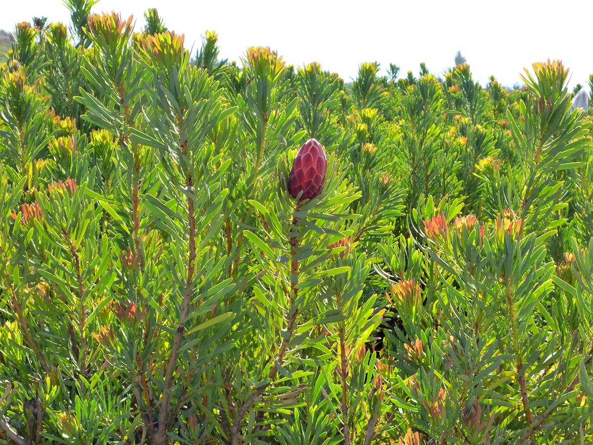10月 南アフリカの花