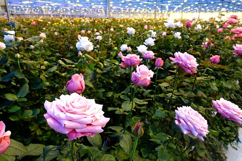 新種のバラ 開発の裏側