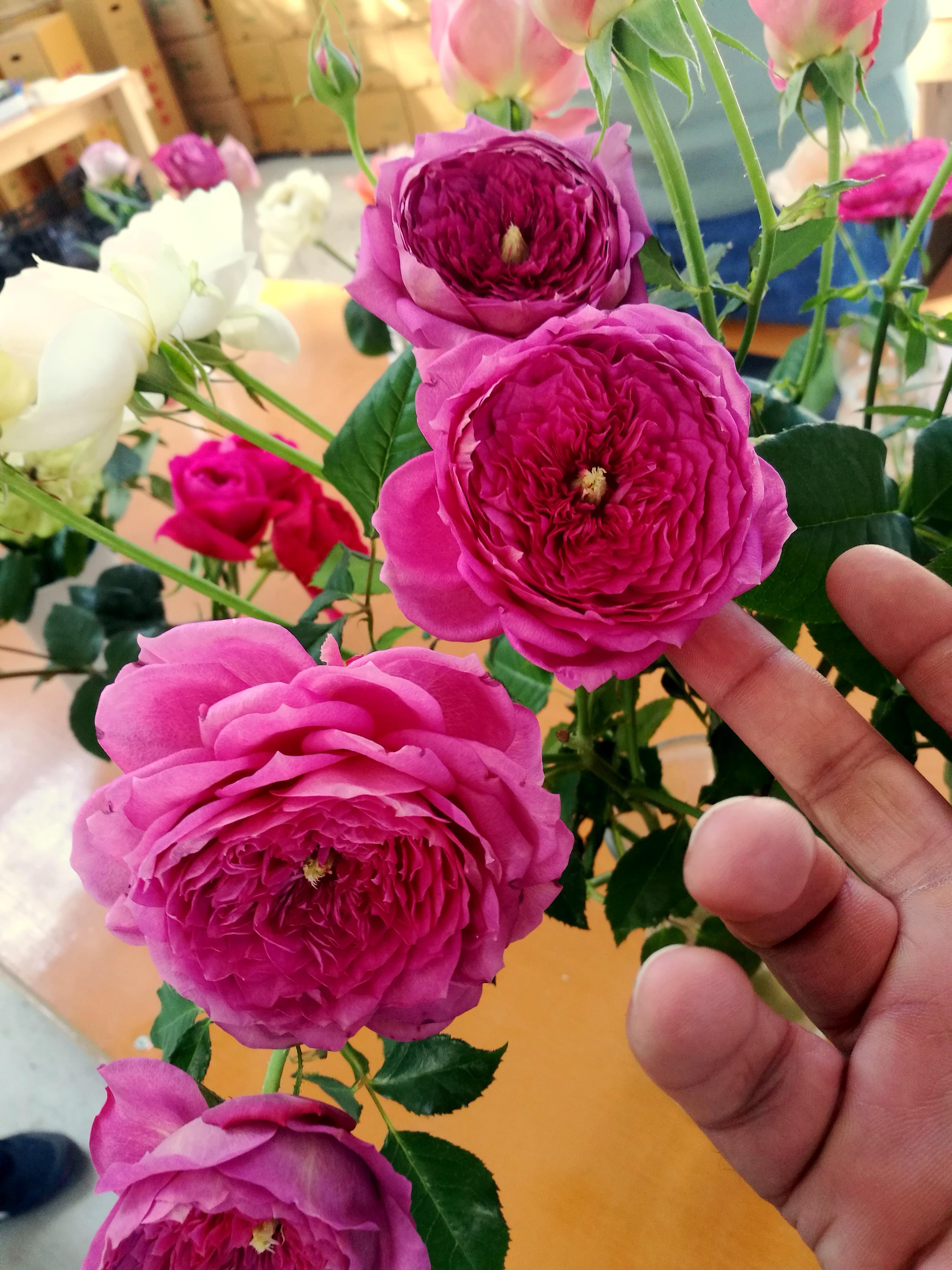 「日本のバラ、ケニアのバラ」 ケニアのバラ農園の日々Vol.7