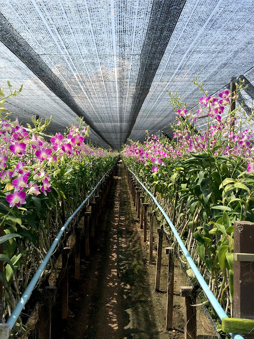 タイ・カオヤイ農園、ナタポンさんのデンファレ日記 Vol.1