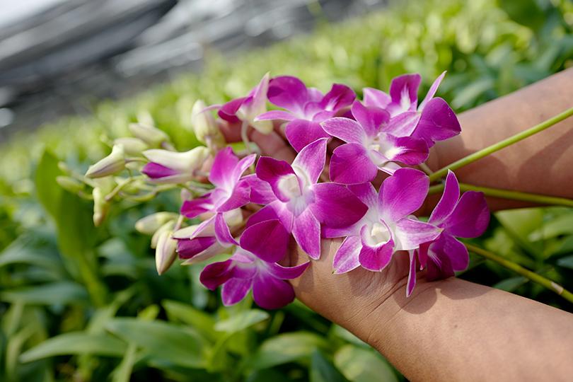 タイ・カオヤイ農園、ナタポンさんのデンファレ日記 Vol.3