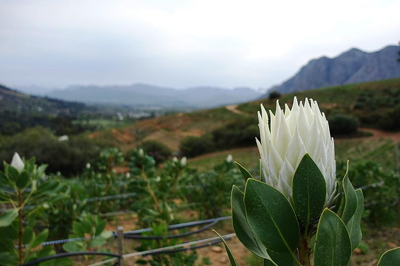 キングプロテア 花の王様