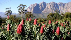 ブライアンさんの南アフリカ花便り Vol.1