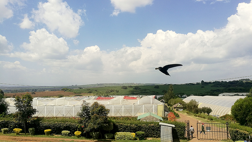 「新しいバラ」のご紹介  ケニアのバラ農園の日々々Vol.12