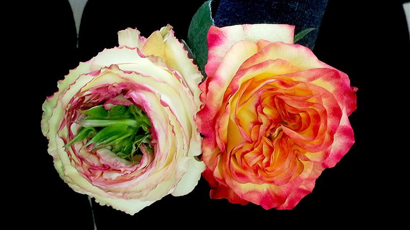 新しいバラ