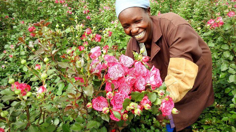 「新しい品種のバラのご紹介」ケニアのバラ農園の日々Vol.14