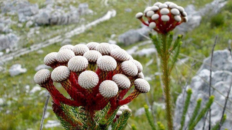 「多くの品種を持つバンクシア」南アフリカ花便り Vol.6