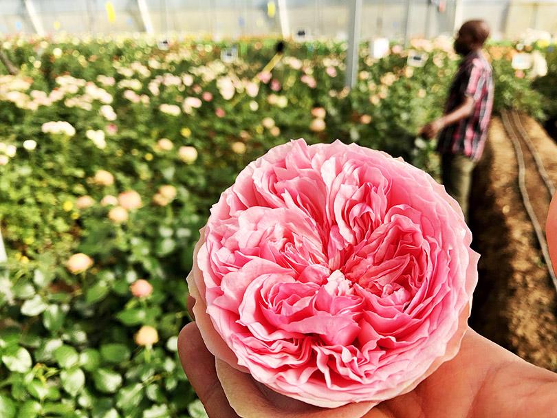世界最新トレンドのバラたち~ケニア・ナイバシャ~