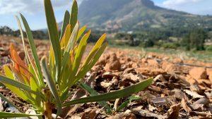 「テーブルマウンテンと南アフリカの植物」南アフリカ花便り Vol.8