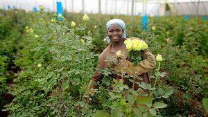 「チームの仲間と新品種のご紹介」ケニアのバラ農園の日々Vol.17
