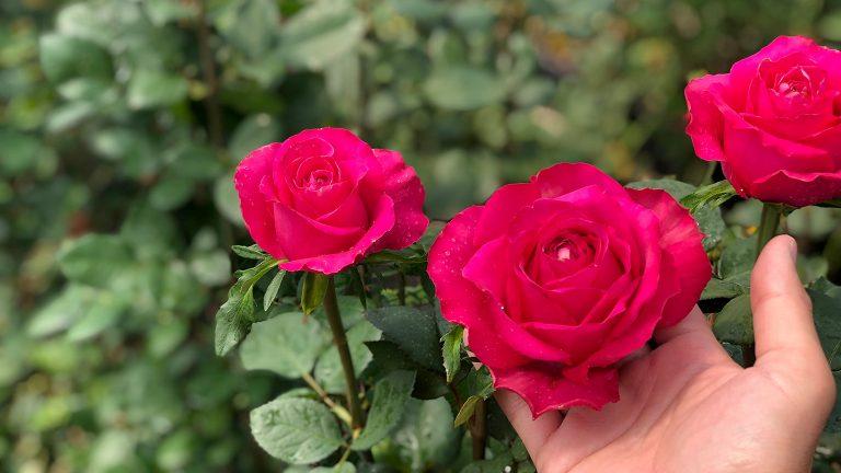 バラの品種開発最前線レポート~ケニア・ナクル~