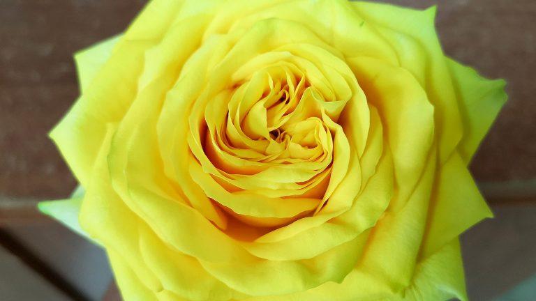「黄色いバラ サンチェイサーのご紹介」ケニアのバラ農園の日々Vol.18