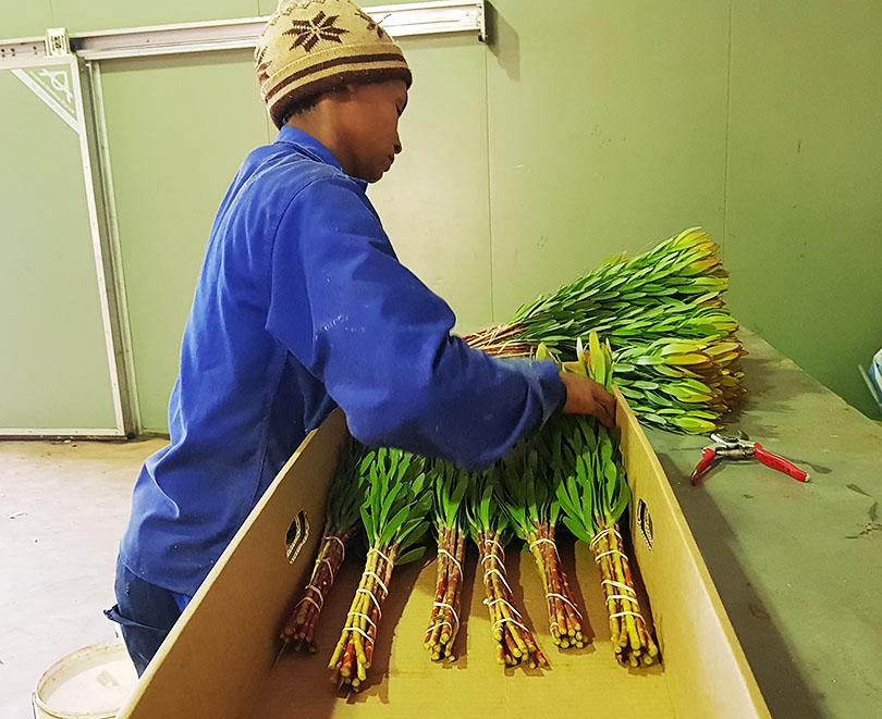 「美しい緑色のリューカデンドロンとキングプロテアの最上品種をご紹介」南アフリカ花便り Vol.11