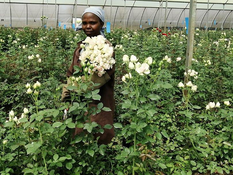 「世界中のバイヤーが注目!ソジャンミ農園のバラ」ケニアのバラ農園の日々Vol.20