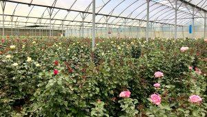 バラの品種開発最前線レポート~ケニア・ナイバシャ~