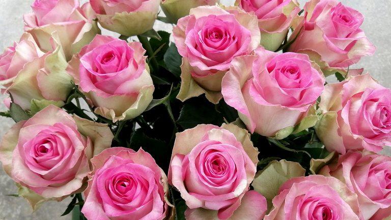「魅惑的なピンク色のバラ - ミジャーヌバルドー」ケニアのバラ農園の日々Vol.23