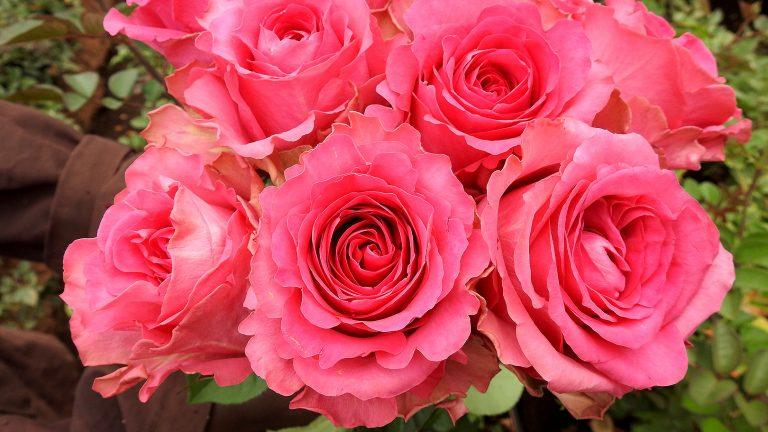 「珍しいピンク色の大輪のバラ」ケニアのバラ農園の日々Vol.24